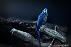 Hyacinth Macaw parrot portrait Stock Photography