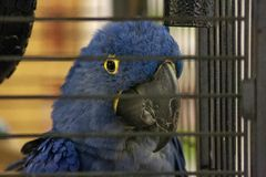 Hyacinth Macaw Parrot Portrait royalty free stock images