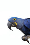 Hyacinth macaw parrot Royalty Free Stock Images
