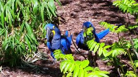 Hyacinth Macaw Parrots Couple stock footage