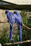 Hyacinth macaw parrots. Pair of hyacinth macaw parrots on a branch Royalty Free Stock Image