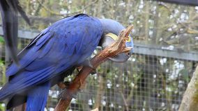 Hyacinth Macaw Perched no ramo de árvore filme