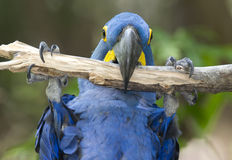Hyacinth macaw playing in tree, pantanal, brazil Royalty Free Stock Image