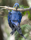 Hyacinth macaw playing in tree, pantanal, brazil Royalty Free Stock Photos