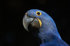 Hyacinth Macaw portrait Royalty Free Stock Photos