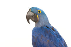 Hyacinth macaw portrait Stock Photo
