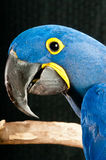 Hyacinth Macaw rescued parrot. Portrait of a Hyacinth Macaw rescued parrot perched on a branch at the rescue facility stock photos