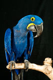 Hyacinth Macaw rescued parrot. Portrait of a Hyacinth Macaw rescued parrot perched on a branch at the rescue facility royalty free stock image