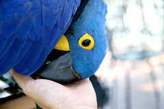 A Hyacinth Macaw rubbing it s beak with hand Stock Images