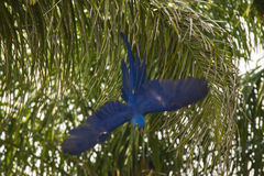 Hyacinth Macaw sauvage, descente soudaine images stock