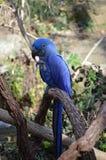 Hyacinth Macaw Stock Photography