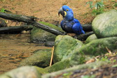 Hyacinth macaw. Sitting at water Stock Photography