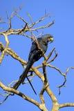 Hyacinth Macaw sur une branche image libre de droits