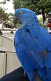 Hyacinth Macaw Stock Image