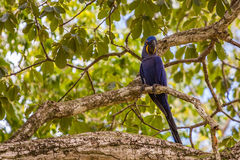 Hyacinth macaw in tree, blue bird parrot Stock Photography