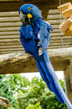 Hyacinth Macaw-Vogel Lizenzfreie Stockbilder