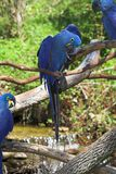 Hyacinth macaws 2 Royalty Free Stock Photo