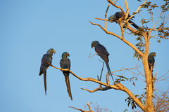 HYACINTH MACAWS Stock Images