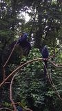 2 Hyacinth Macaws au zoo photo stock