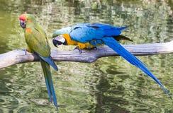 Hyacinth Macaws Communication Stock Photo