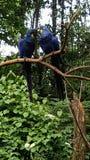 Hyacinth Macaws en el parque zoológico que se hace frente Imagen de archivo libre de regalías