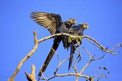 Hyacinth Macaws sur une branche image libre de droits