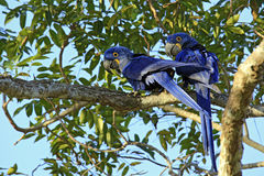 Hyacinth Macaws sur une branche images stock
