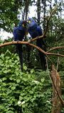 Hyacinth Macaws am Zoo, der sich gegenüberstellt Lizenzfreies Stockbild