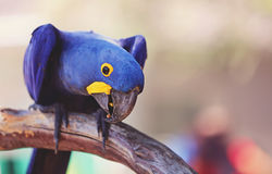 Hyacinth maccaw. A gorgeous macro shot of a blue and yellow hyacinth maccaw Royalty Free Stock Photos