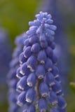 Hyacinth Macro lizenzfreies stockbild