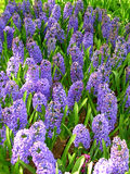 Hyacinth. Mouse early wild flower Stock Images