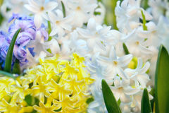 Hyacinth multi-colored flowers Stock Photo
