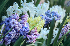 Hyacinth multi-colored flowers Royalty Free Stock Photos