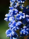 Hyacinth, Muscari Armeniacum Stock Image
