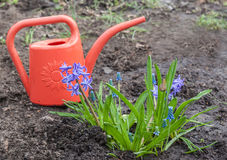 Hyacinth with  muscari  on a flower bed on a background of  wate Stock Photo
