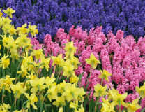 Hyacinth with Narcissus (Daffodil)  in front. Yellow Narcissus (Daffodil) face the Purple and Pink Hyacinth flowerbed Stock Photo