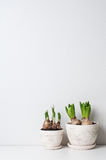 Hyacinth and narcissus sprouts Stock Images