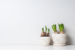 Hyacinth and narcissus sprouts. In ceramic pots on a white wall Stock Photos