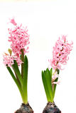 Hyacinth no fundo branco Fotos de Stock