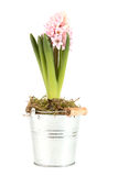 Hyacinth with opened blossom Royalty Free Stock Image