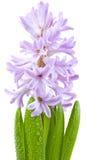 Hyacinth over white stock photos