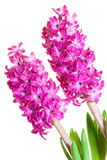 Hyacinth over white Stock Photos