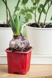 Hyacinth Royalty Free Stock Photo