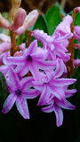 Hyacinth Pink Flower foto de stock