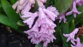 Hyacinth Pink Flower Imagem de Stock