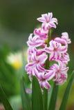 Hyacinth Pink Pearl Netherlands-bloemen Royalty-vrije Stock Foto
