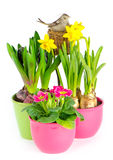 Hyacinth, pink primulas, yellow daffodils Stock Photography