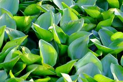Hyacinth plant leaves growing in a river surface royalty free stock images
