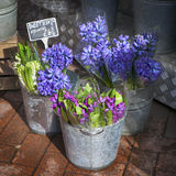 Hyacinth plant surrounded by different flowers in flower store. Royalty Free Stock Photo