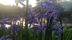 Hyacinth Plants Blossoming with Purple Fragrant Flowers during Sunrise in Spring in Central Park in Manhattan, New York, NY. Hyacinth Plants Blossoming with stock video footage